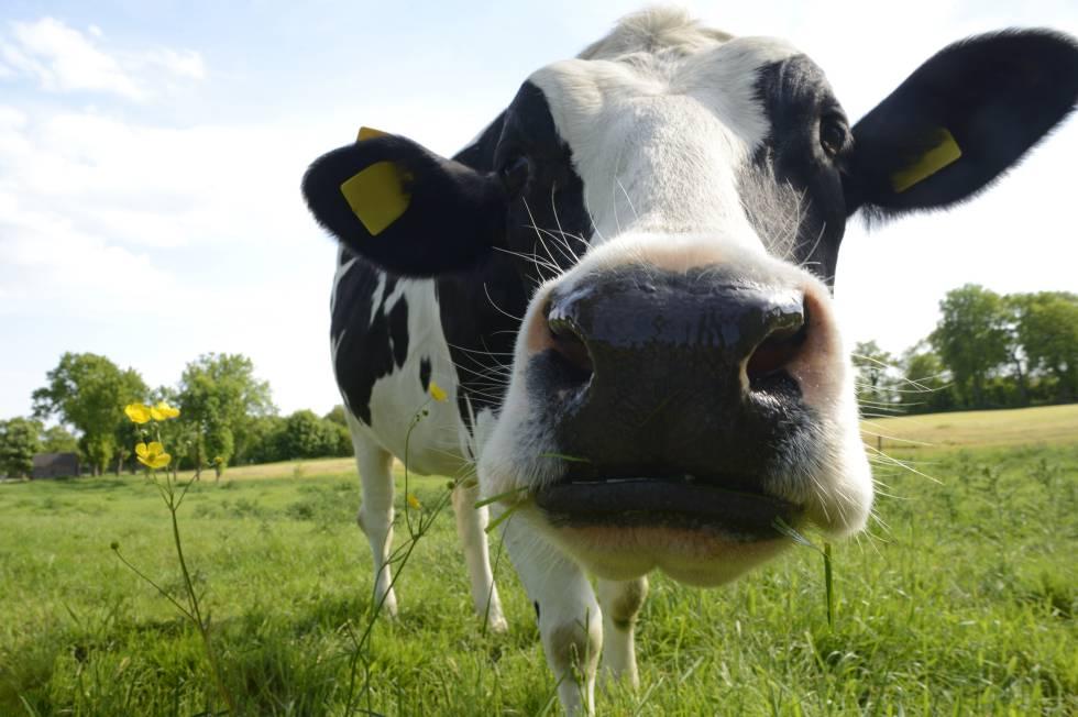 El Metano no es culpa de las vacas